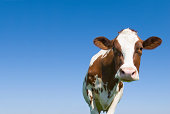 One cow, head and body up standing against a clear blue sky and looking into the camera. The background is a clear blue sky and has plenty of copy space.