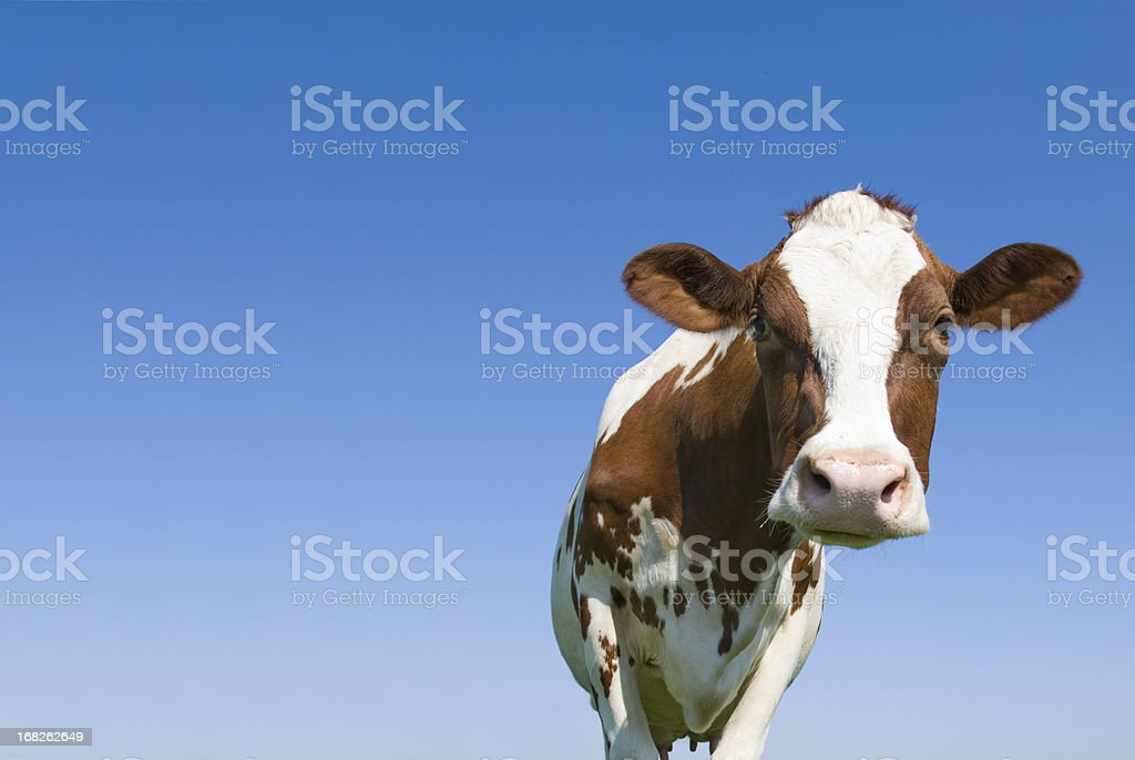 Cow against Blue Sky Looking at camera stock photo