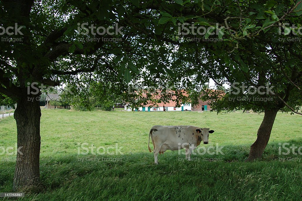 Cow amongst Trees stock photo