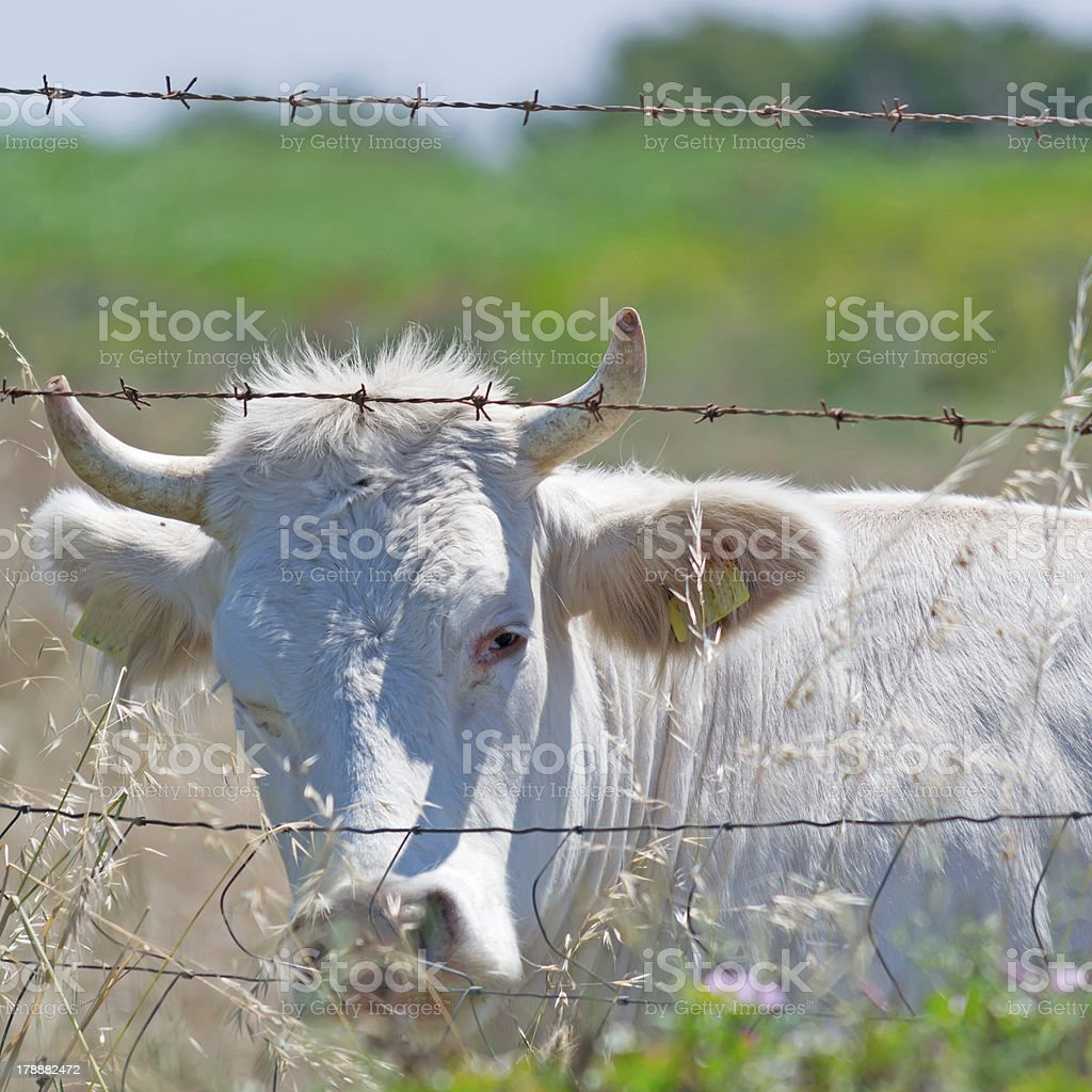 cow and barbed wire royalty-free stock photo