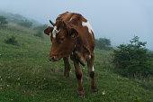 plateau grazing cow