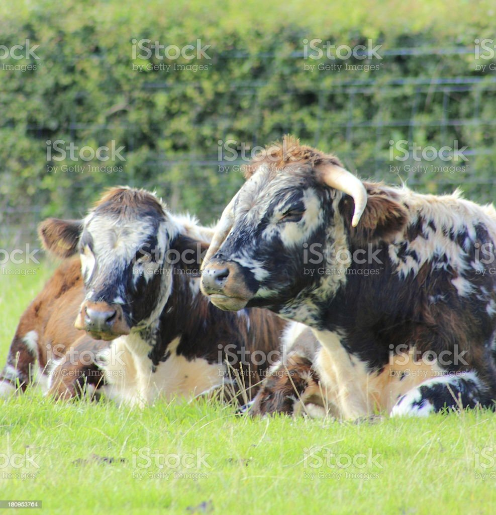 cow and bullock longhorn stock photo