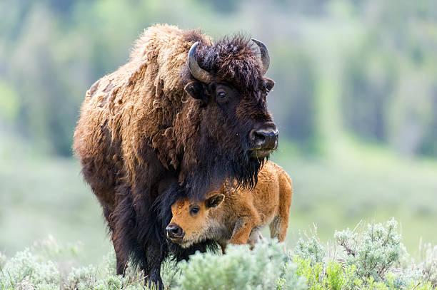 Cow and Calf Bison bildbanksfoto