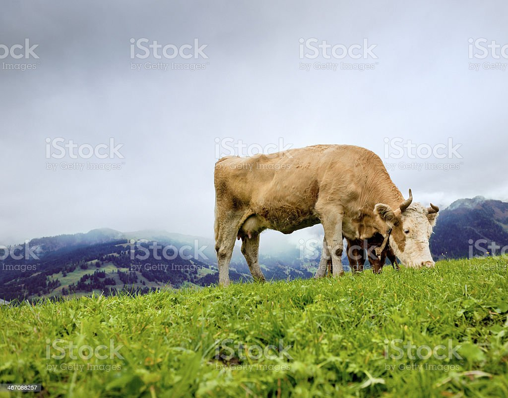 cow and calf grazing on mountain royalty-free stock photo