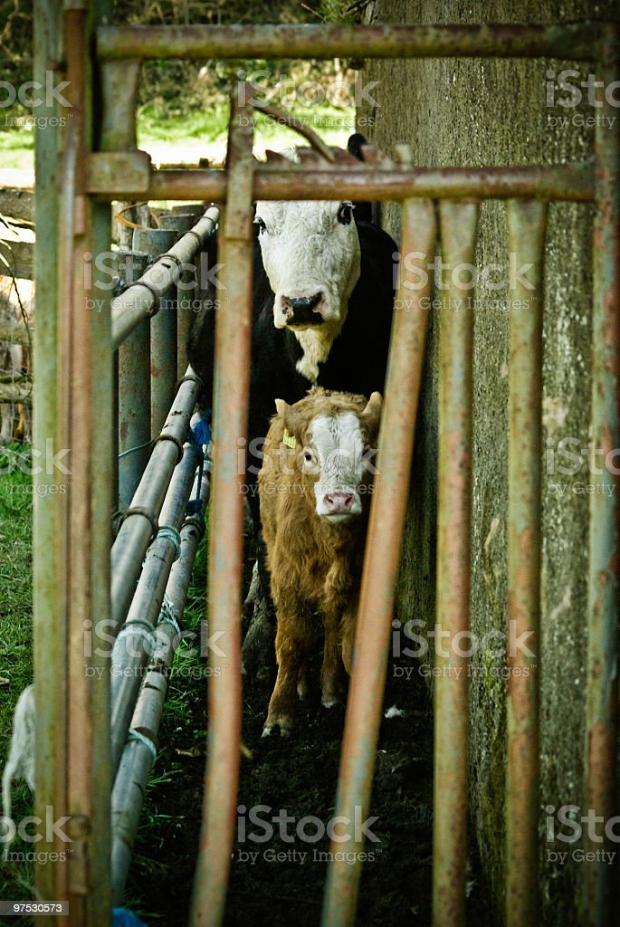 Cow and Calf in Cattle pen waiting for vet royalty-free stock photo