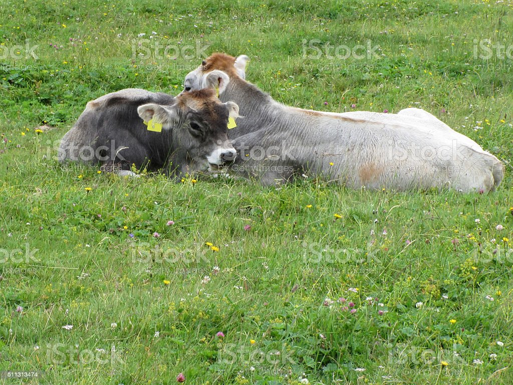 Cow and calf on a summer meadow stock photo