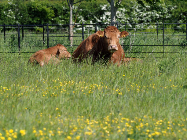 cow and calf - cud stock pictures, royalty-free photos & images