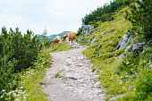 Cow and calf spends the summer months on an alpine meadow in Alps. Many cows on pasture. Austrian cows on green hills in Alps. Alpine landscape in cloudy Sunny day. Cow standing on road through Alps.