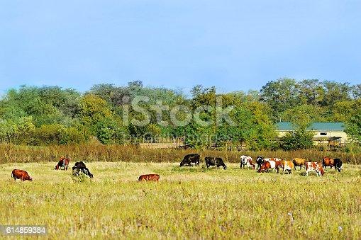 istock cow and calves near the house 614859384