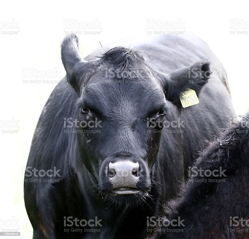 cow and cows (8) stock photo