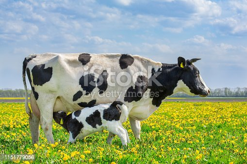 Mother cow and newborn drinking calf in european pasture with blooming dandelions. I took this landscape photo during spring season in the Netherlands. In Agriculture many young farm animals are born in springtime. I like the colorful image with the blue sky, green grass and the blooming yellow dandelions.