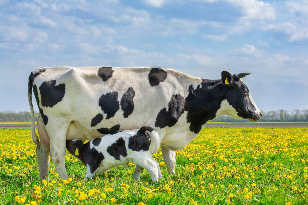 Cow and drinking calf in dutch meadow with dandelions stock photo