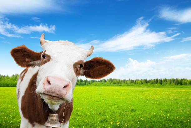 Kuh und frisches Gras-Feld – Foto