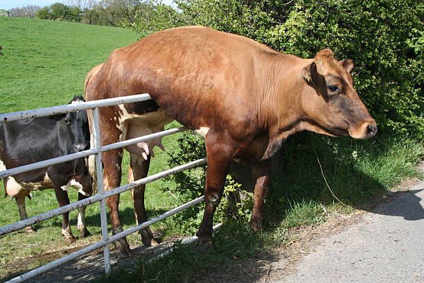 Cow and Gate.  trap stock pictures, royalty-free photos & images