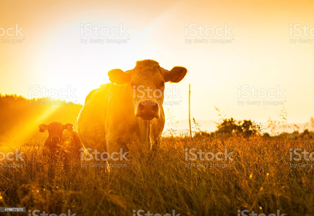 Cow and her baby cow at the field stock photo
