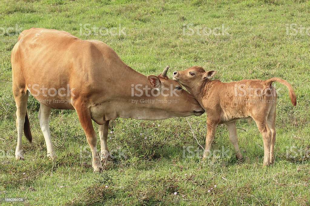 Cow and Her Calf stock photo