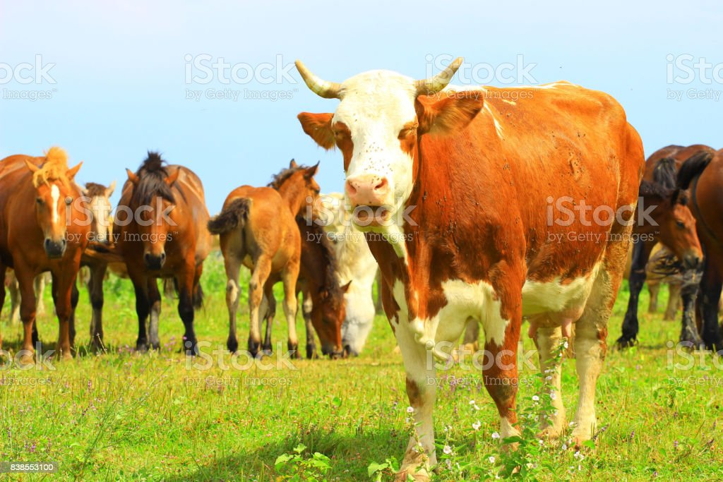 Cow and horses on farm stock photo