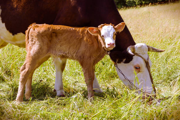 Cow and new born calf in the meadow stock photo
