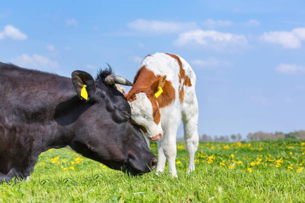 Cow and newborn calf hug each other in meadow stock photo