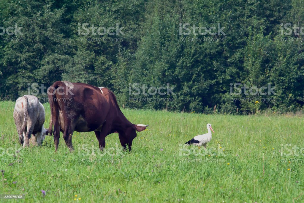 cow and stork stock photo