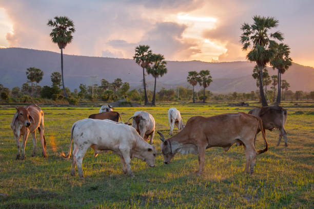 Cow And Sugar Palm At Phetchaburi Thailand Stock Photo - Download Image Now  - iStock