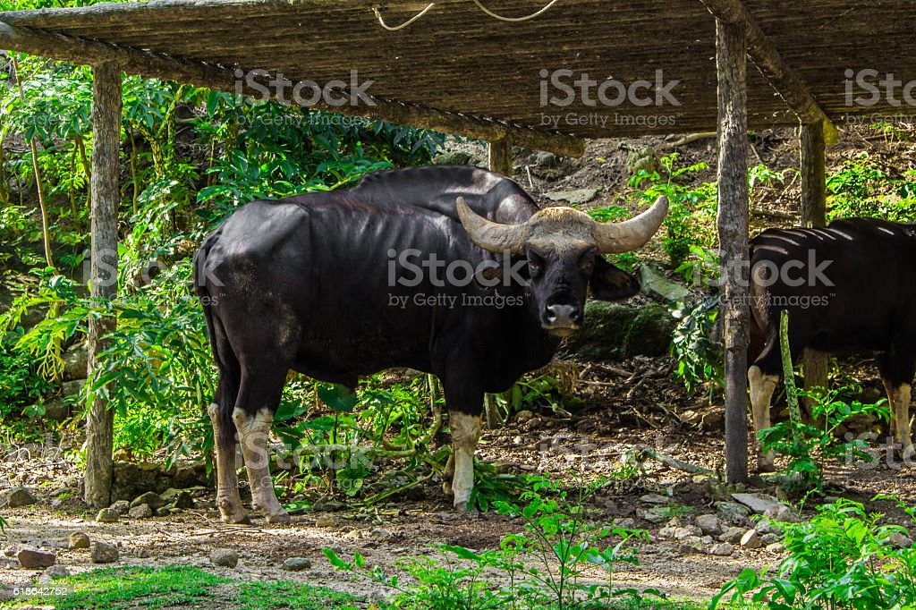 Cow and the sunlight. stock photo