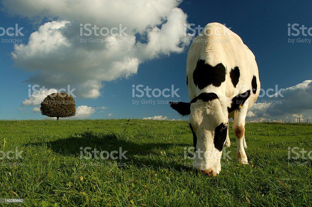 Kuh und Baum – Foto
