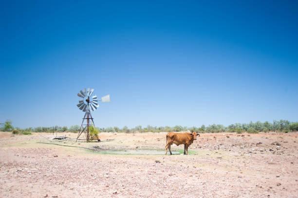 bir inek ve taşra avustralya'daki yel değirmeni. - kuraklık stok fotoğraflar ve resimler