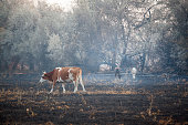 istock cow animal field after fire 1175074638