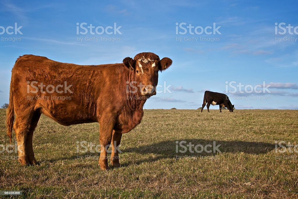 Cow Asking royalty-free stock photo