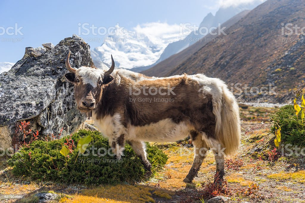 Cow at Chukung village, Everest region, Nepal stock photo
