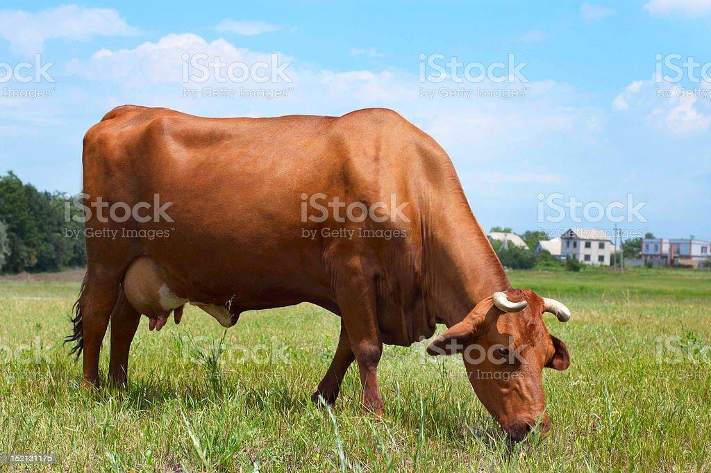 Cow at farmland eating fresh grass royalty-free stock photo