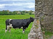 A view of a cow looking into the Hore Abbey ruins near the Rock of Cashel in Ireland.