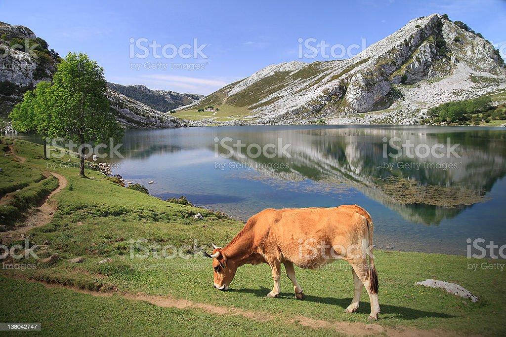 Cow at Lago Enol in Asturias - Spain stock photo
