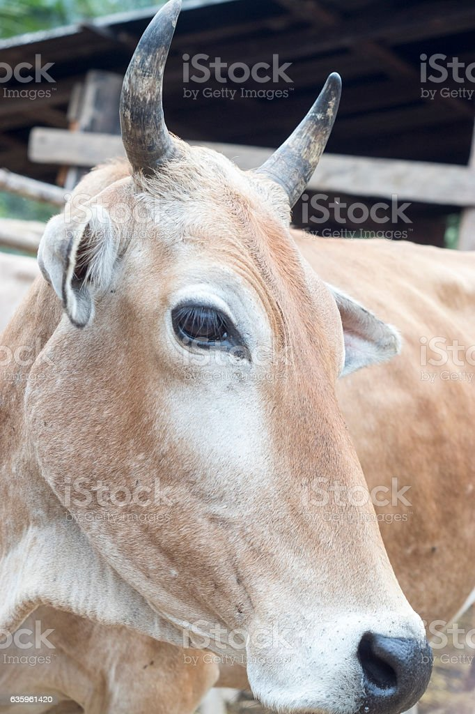 cow background selective focus face stock photo