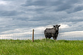 A beautiful and curious lone black cow in a vast farmland field peers over a barbed wire fence.