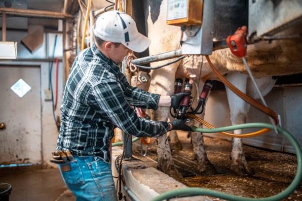 Kuh gemolken auf einem Milchviehbetrieb – Foto