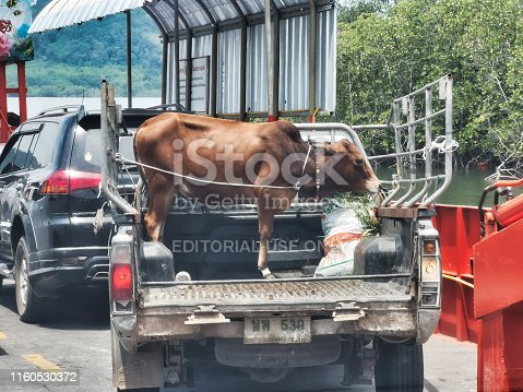 Krabi town, Thailand - April 9, 2019: One domestic Cow is tied on the back of a pick-up truck.  The truck is boarding a car ferry.  A typical rural scene in Thailand, where family's often only own or two livestock.
