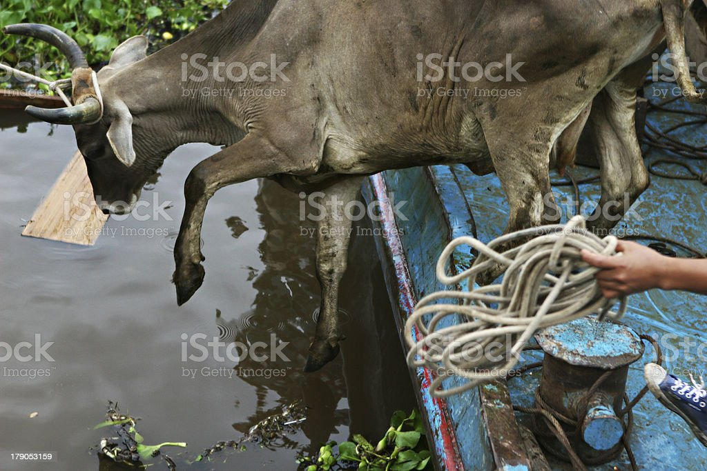 Cow Belly Flop stock photo