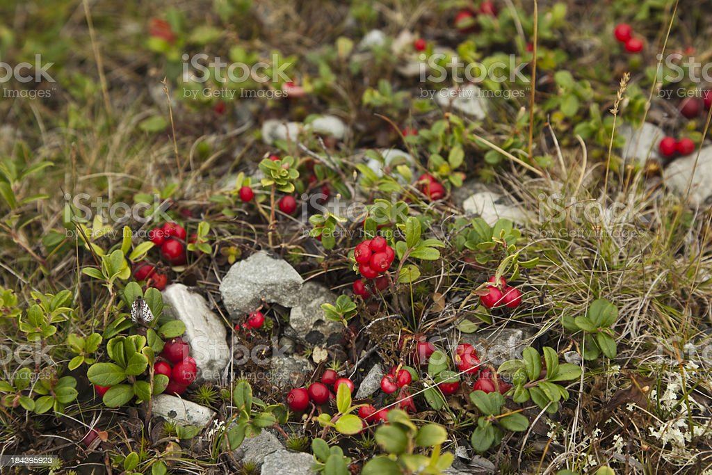 Cow berries in the mountains. royalty-free stock photo