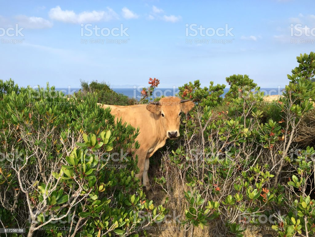 Cow between Mediterranean vegetation stock photo