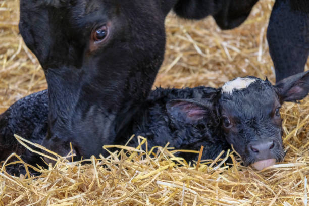 Cow bonding with her newborn calf Close up of a cows head, as she stands nuzzling her newborn calf, on a farm in Scotland. She is licking & cleaning away the amniotic fluid from the calf's body and stimulating it to become more alert. The calf is black with a white marking on the top of its head and on its chin, which comes through from the Simmental bull, while the mother is full Aberdeen Angus. It is looking at the camera and slowly taking in its new surroundings. calf stock pictures, royalty-free photos & images
