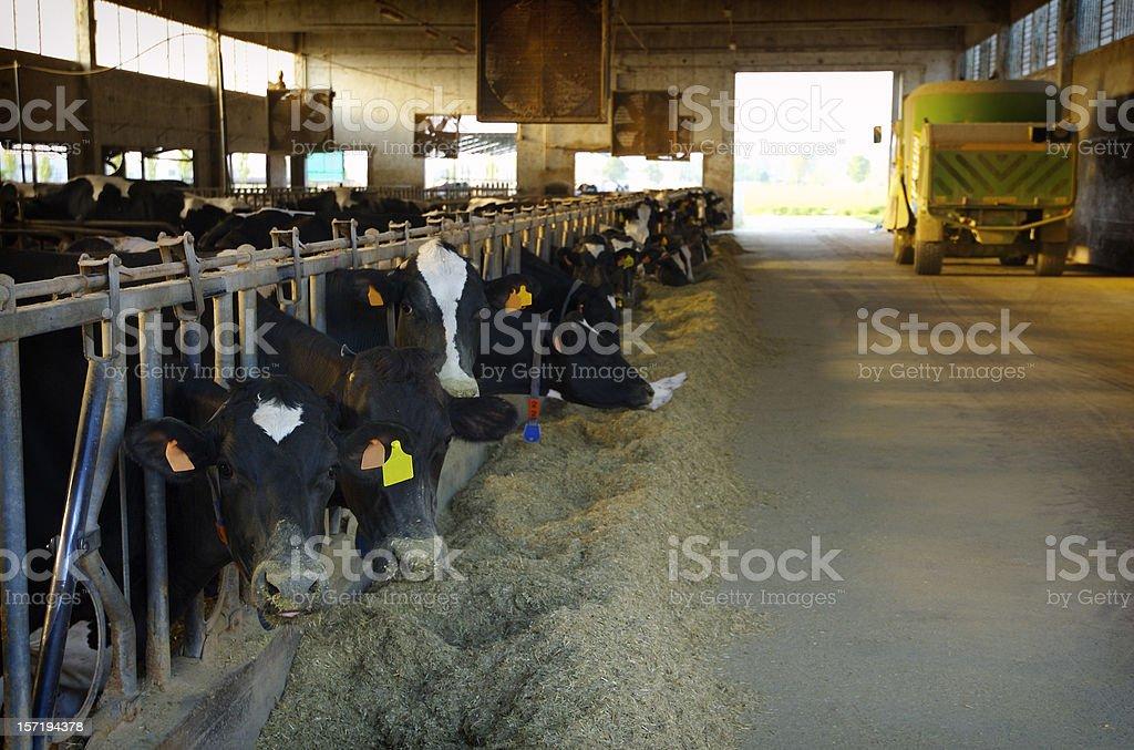 Élevage de vache - 2 - Photo