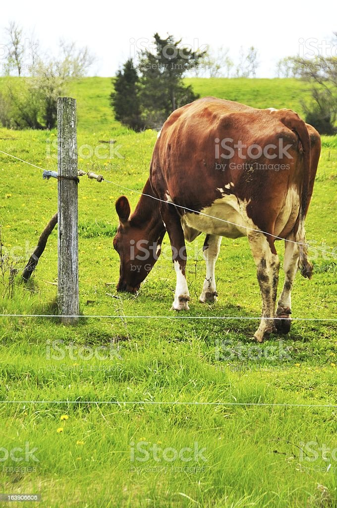 Cow by Fence royalty-free stock photo