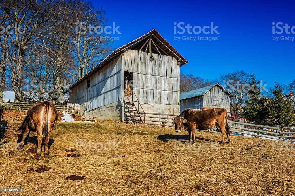 Cow by Old Wooden Barn in Village Farm royalty-free stock photo
