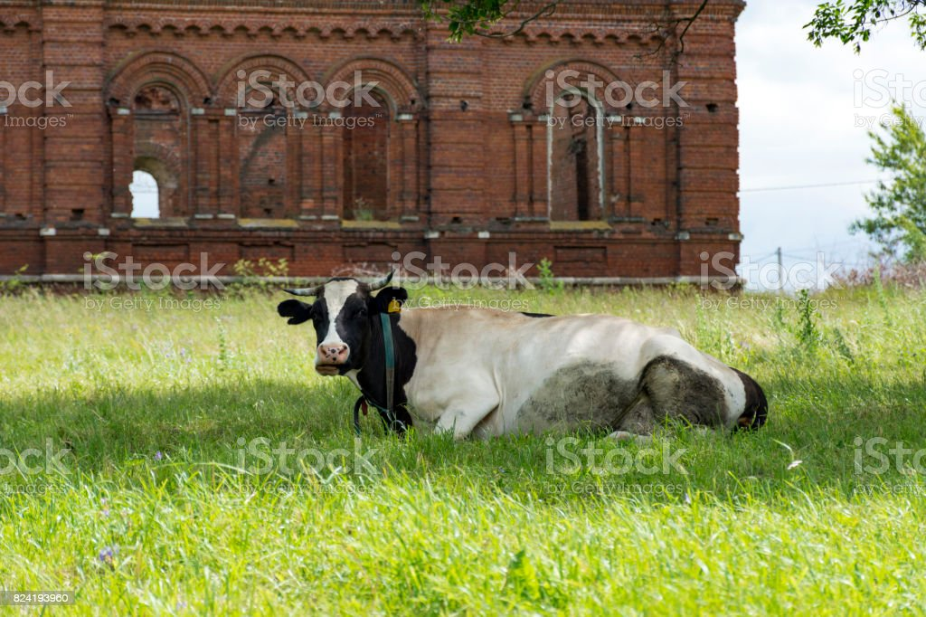 cow c spotted skin lying on the grass in the meadow, behind a ruined abandoned Church stock photo
