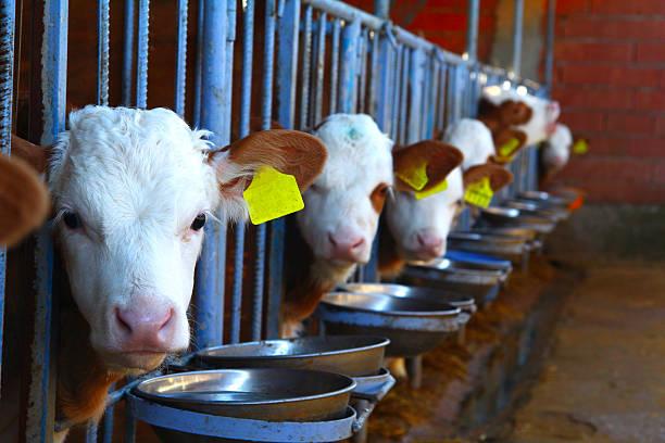 Cow, calf ストックフォト