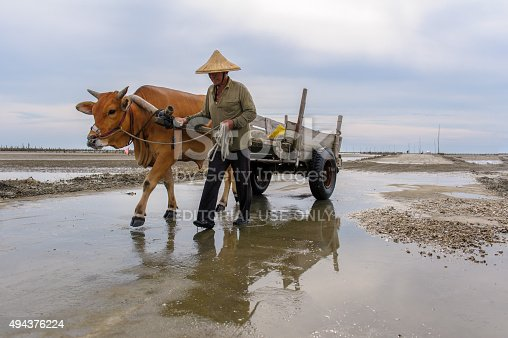 Changhua, Taiwan - July 20, 2013: a man drives a cow cart on the beach to pick out oysters in Fangyuan, Changhua, Taiwan