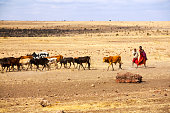 Serengeti Tanzania - September 2012: Cow cattle driven by Maasai children to drink water