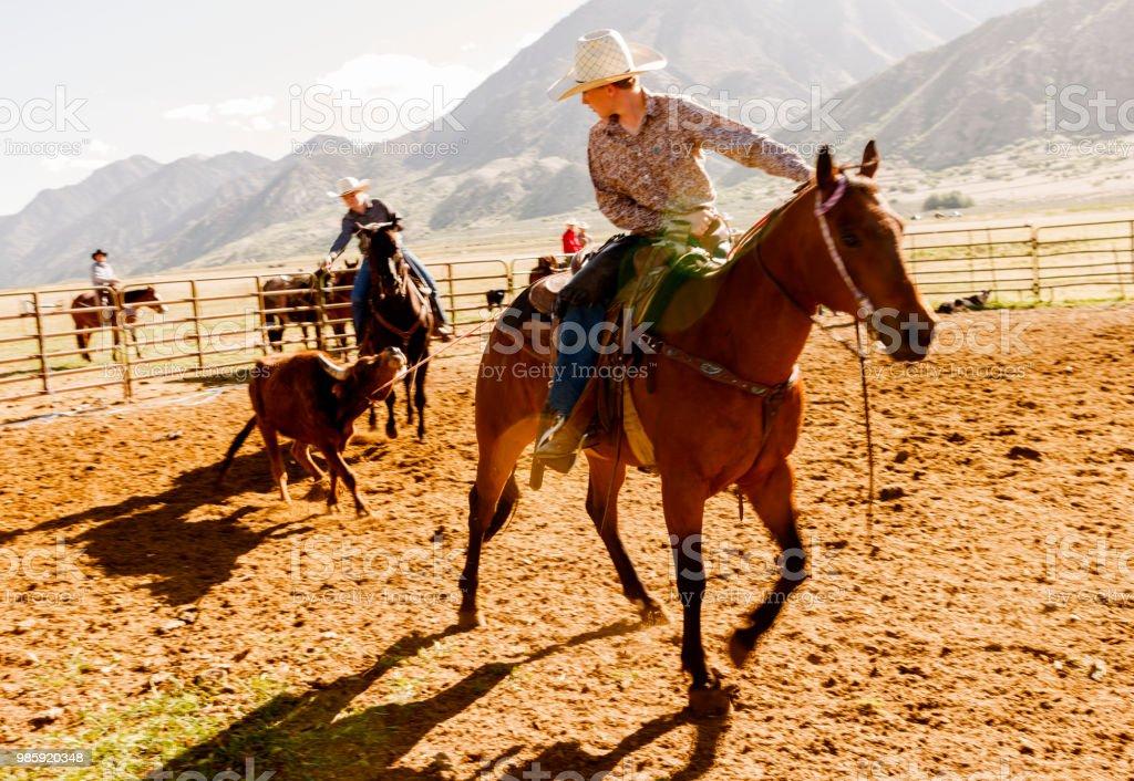 Cow cattle veal herding at santaquin valley of Salt lake City SLC Utah USA